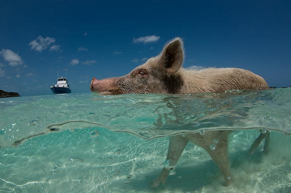 Pig Beach6