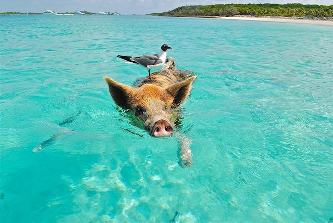 Pig Beach4