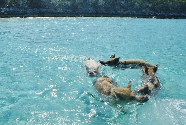 Pig Beach3