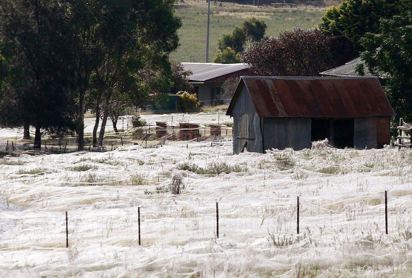 オーストラリアでクモが大量発生4