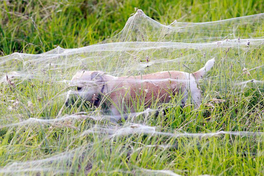 オーストラリアでクモが大量発生5