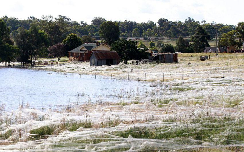 オーストラリアでクモが大量発生9