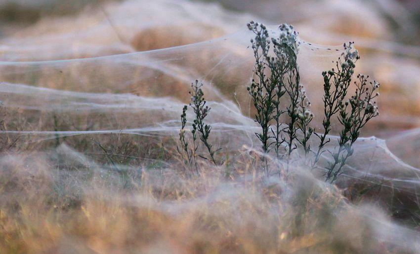 オーストラリアでクモが大量発生8