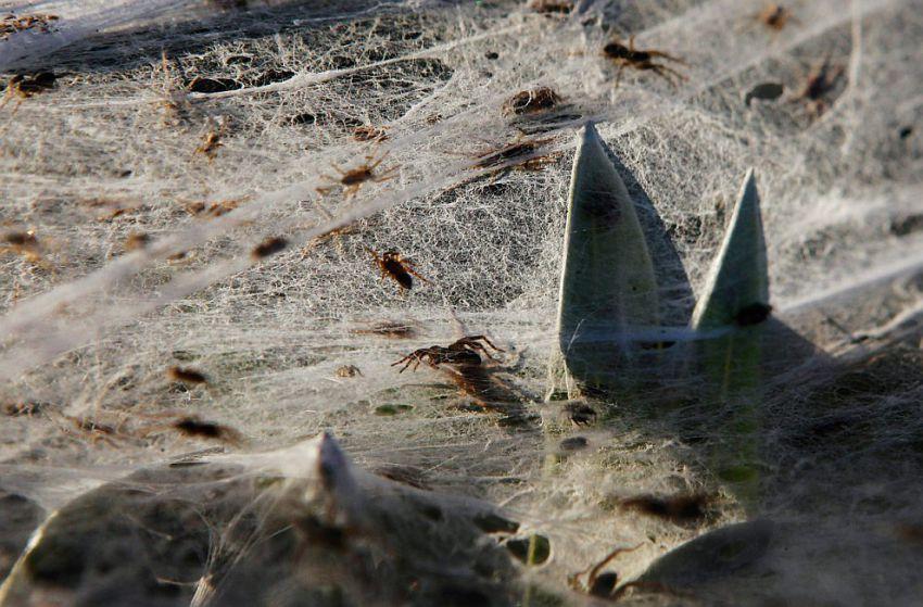 オーストラリアでクモが大量発生10