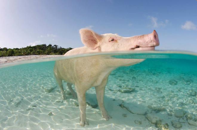 Pig Beach2