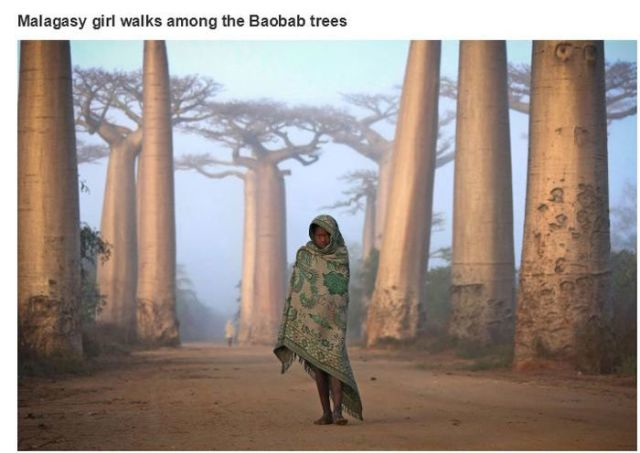 バオバブの木の間を歩くマダガスカルの少女